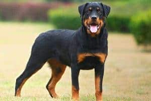 Do Rottweilers Have Webbed Feet?