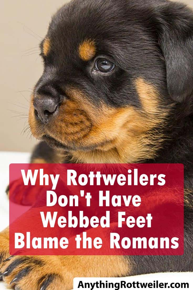 Why Rottweilers Don't Have Webbed Feet