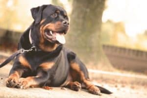 Are Rottweilers Good Off Leash