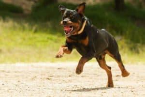 Can You Run With Your Rottweiler