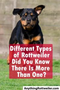 Different Types of Rottweiler