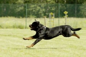 How fast is a Rottweiler