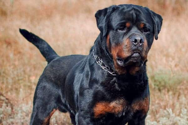 are rottweilers friendly with strangers