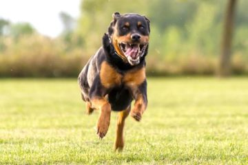 are rottweilers so hyper