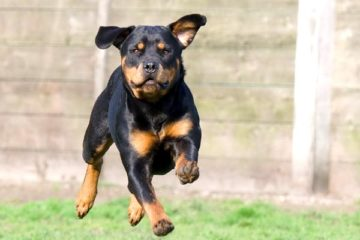 how much exercise does a rottweiler need