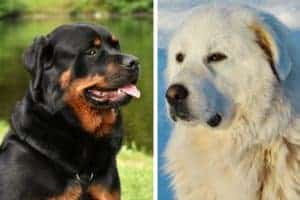 Great Pyrenees Rottweiler Mix
