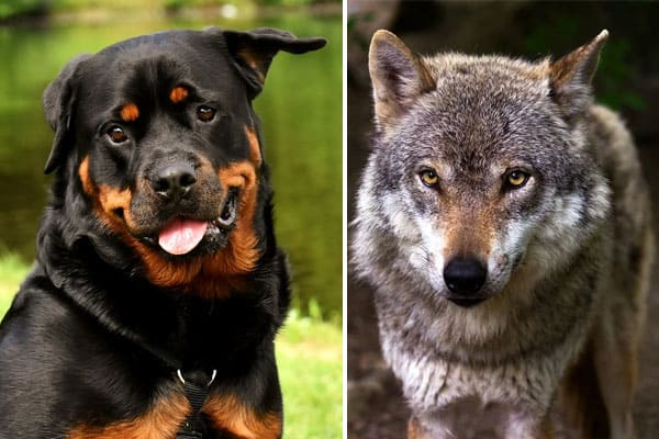 Rottweiler Wolf Mix Is This Hybrid Dog