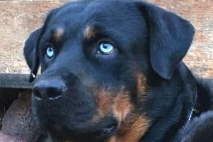 Rottweiler With Blue Eyes