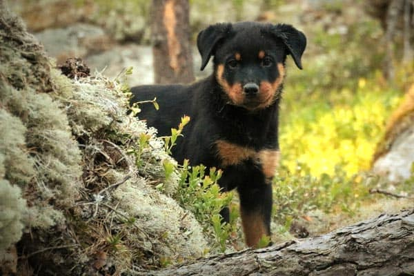 Are Rottweilers Good Hiking Dogs