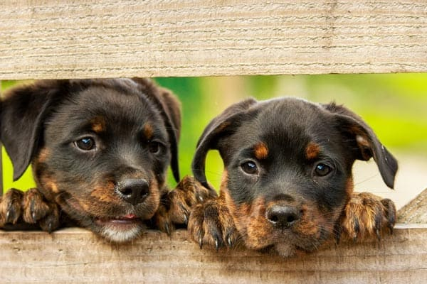 How to Choose a Rottweiler Puppy From a Litter