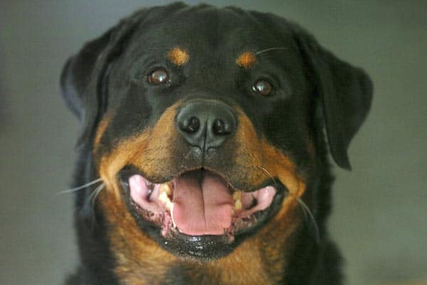 Why Do Rottweilers Growl