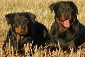 Will Two Male Rottweilers Get Along