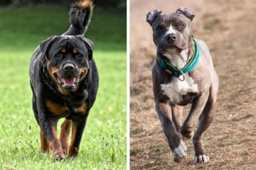 Do Rottweilers Get Along With Pitbulls