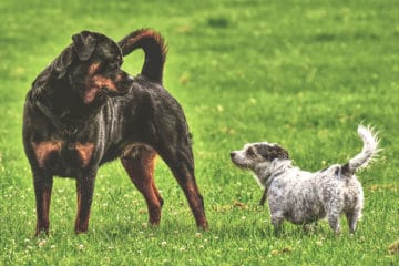 Do Rottweilers Get Along With Small Dogs