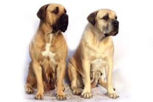 Mastiff Group