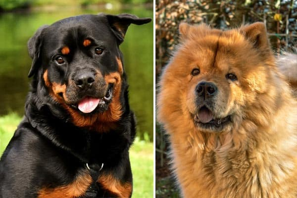 Rottweiler Chow Mix: How It Is Not Much of an Enigma