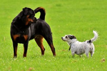 best companion dog for rottweiler
