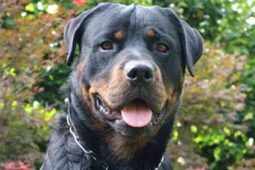 dogs that look like rottweilers
