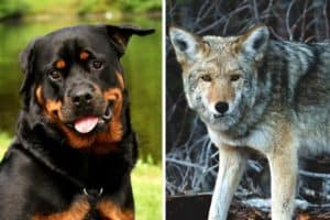 Rottweiler vs Coyote
