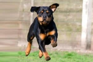 Do Rottweilers Shed