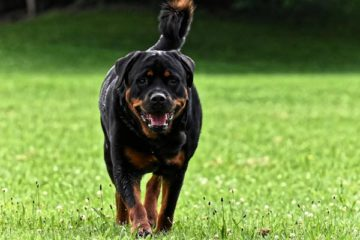 How Long Do Rottweilers Live