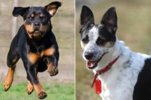 Rat Terrier Rottweiler Mix