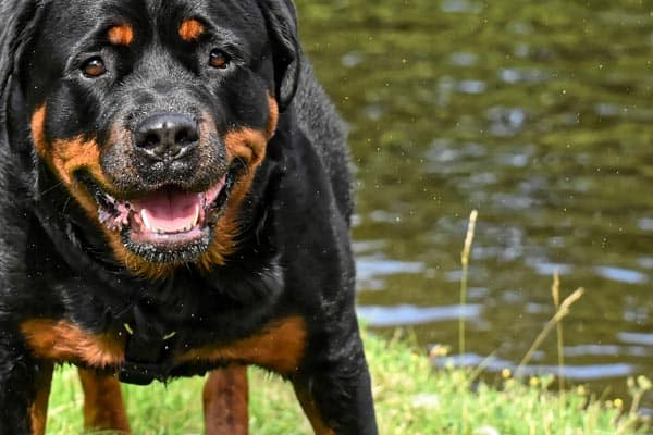 Are Rottweilers Good Dogs