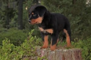 Are Rottweilers Hypoallergenic
