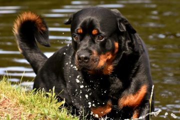 Can Rottweilers Swim