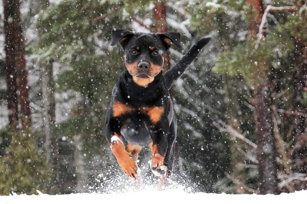 How Cold is Too Cold for a Rottweiler