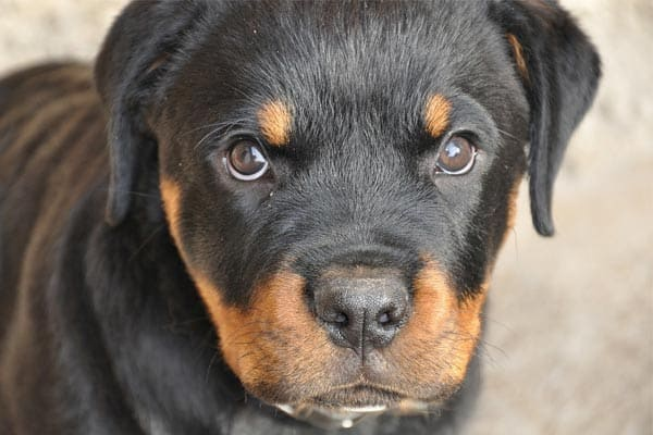What Age do Rottweilers Get Aggressive