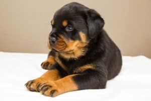 When Do Rottweilers Stop Growing