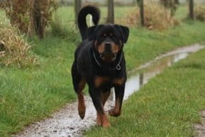do rottweilers turn on their owners