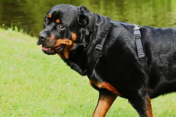 how long do rottweilers stay in heat
