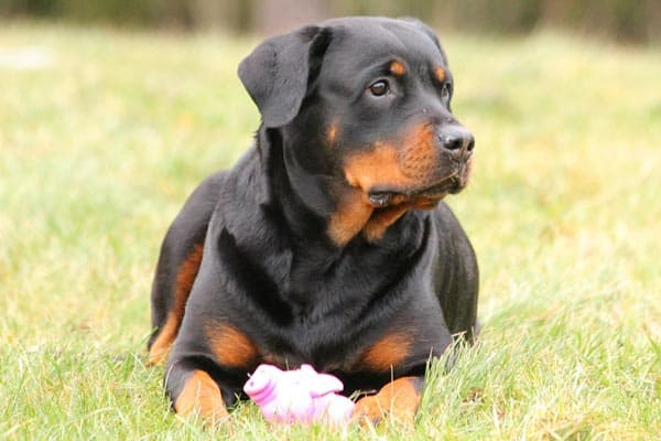 Are Rottweilers Bully Breeds