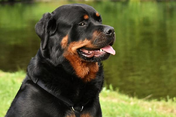 Are Rottweilers Loyal