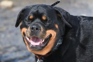 Can Rottweilers Eat Bananas