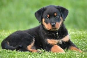 Can Rottweilers Eat Strawberries
