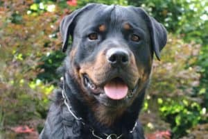 Do Rottweilers Drool