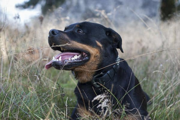 Should Rottweilers Be Muzzled