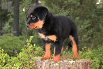 Where are Rottweilers banned