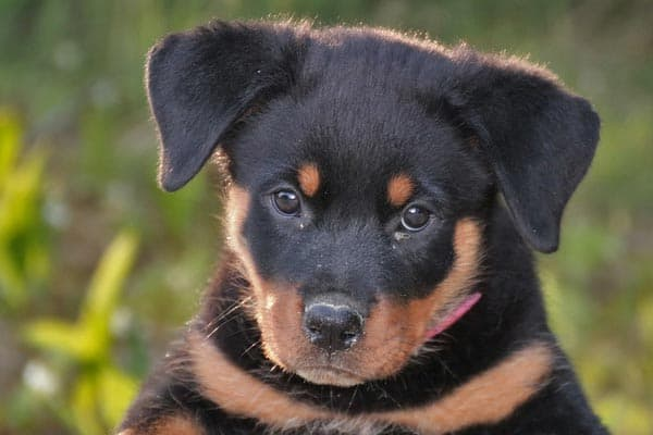 are rottweiler good with kids