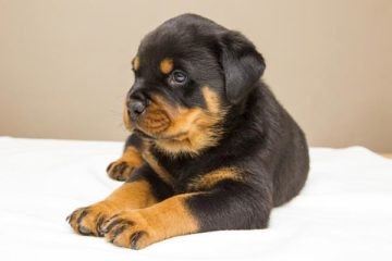 how to raise a rottweiler puppy