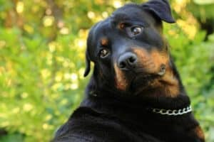rottweiler pros and cons