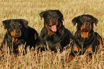Rottweiler Colors
