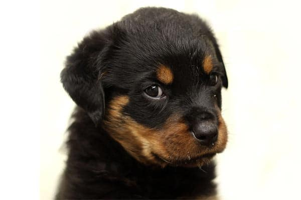 """Rottweilers are currently the eighth most popular purebred dog breed in the country - this according to none other than the American Kennel Club (AKC). The AKC, of course, is the official purebred dog registry in the United States. But being in the top 10 comes with a price. In this case, it is the hefty price tag owners pay to get their hands on a Rottweiler puppy. Because the investment is steep, there is a ton to think through before you decide the Rottweiler is the right dog for you. In this article, we help you think through the financial aspect of owning a Rottweiler. Rottweiler Puppy Price According to a CBS national news report, a young Rottweiler puppy typically costs between $1,500 and $2,500. Keep in mind that this is just the cost of acquiring your Rottweiler puppy and does not include any of the other supplies you will need to care for your new pup. Learn About Rottie Puppy Prices Today In this YouTube video, you can get a to-the-point overview of both Rottweiler puppy price and the less visible costs of daily dog ownership. In the remainder of this article, we will review the various expenses breeders must bear to breed Rottweiler puppies. Why Rottweiler Breeders Charge So Much for Puppies So why are Rottweiler puppies so expensive? This is a smart question to ask, especially if you run into what seems like a """"great deal"""" on a Rottweiler puppy. Knowing the general price range for Rottweiler puppies helps you sniff out when a deal sounds so good it bears further investigation. In other words, there is a reason beyond just simple supply and demand for why a Rottie puppy costs so much. Rottweilers are expensive to breed from start to finish. For example, as King Rottweilers breeder points out, just finding healthy parent dogs takes a number of pre-screening health tests, each of which have a cost. In the next sections we break down the typical cost categories and expenses estimates for producing a litter of healthy Rottweiler puppies from start to finish."""