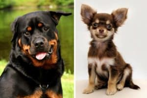 Chihuahua Rottweiler Mix
