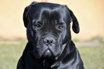 Are Cane Corsos Good With Other Dogs